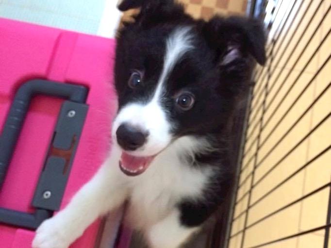 神奈川県青葉区にある足場施工会社 株式会社大久保恒産で足場職人として働く親方島津さんの愛犬ボーダーコリーの写真